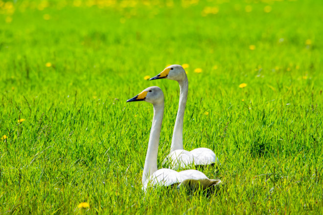 Swans on a field