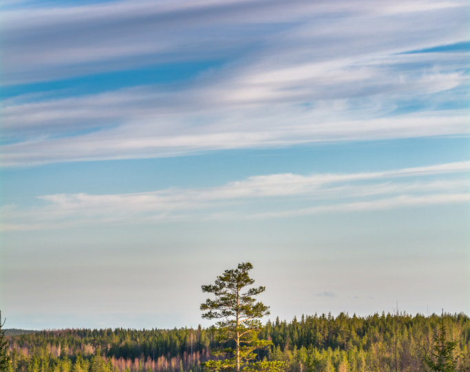 Higest tree