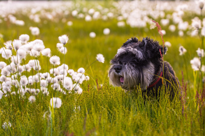 Dog in a flowerfield