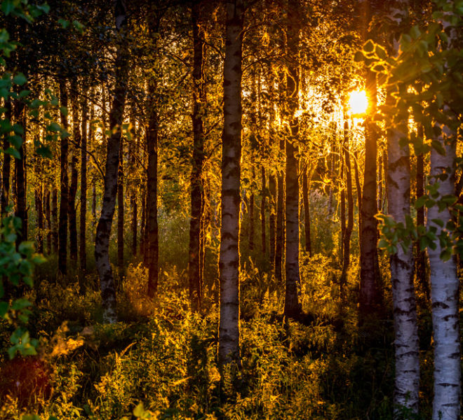 Beautiful birch forest