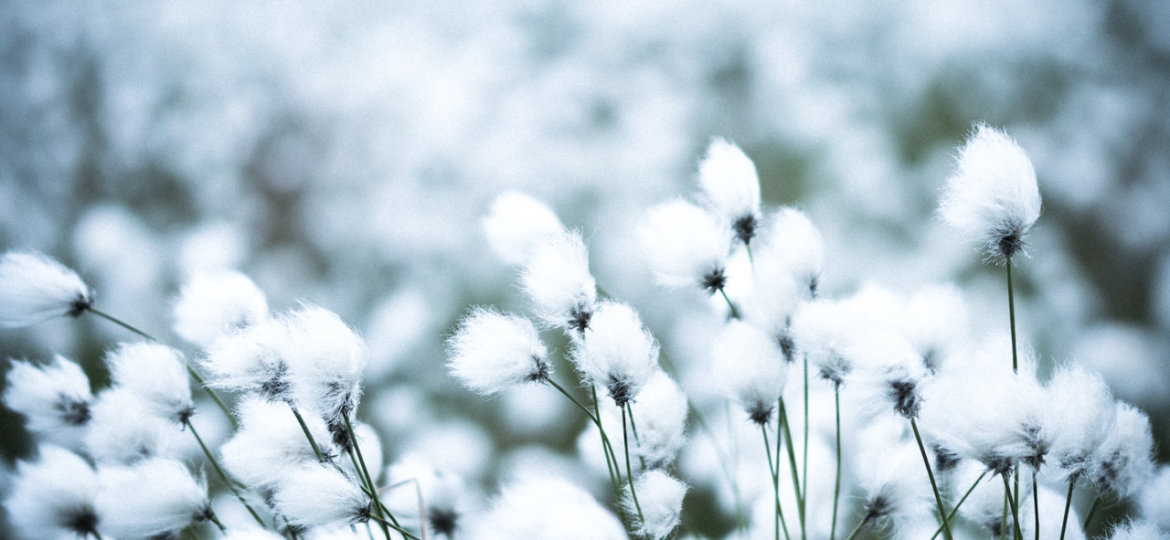 Sea of cottongrass