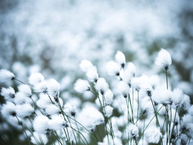 Sea of cottongrass