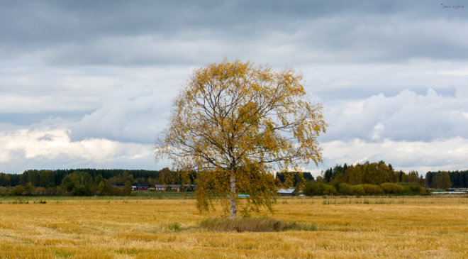 Single tree in autumn