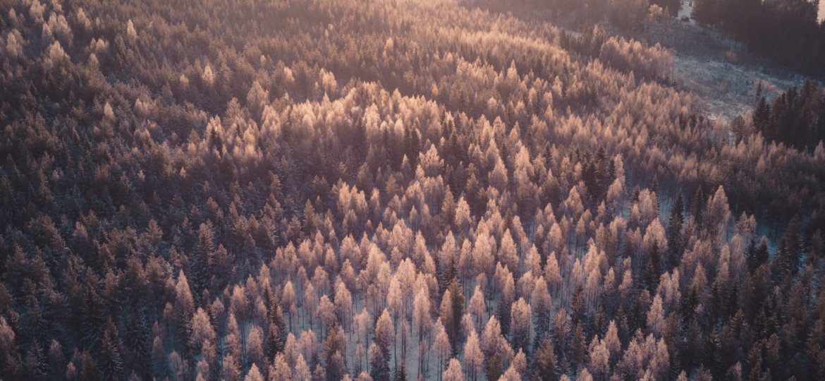 Forest in the morning fog