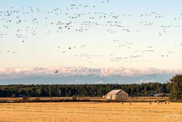 5000 cranes